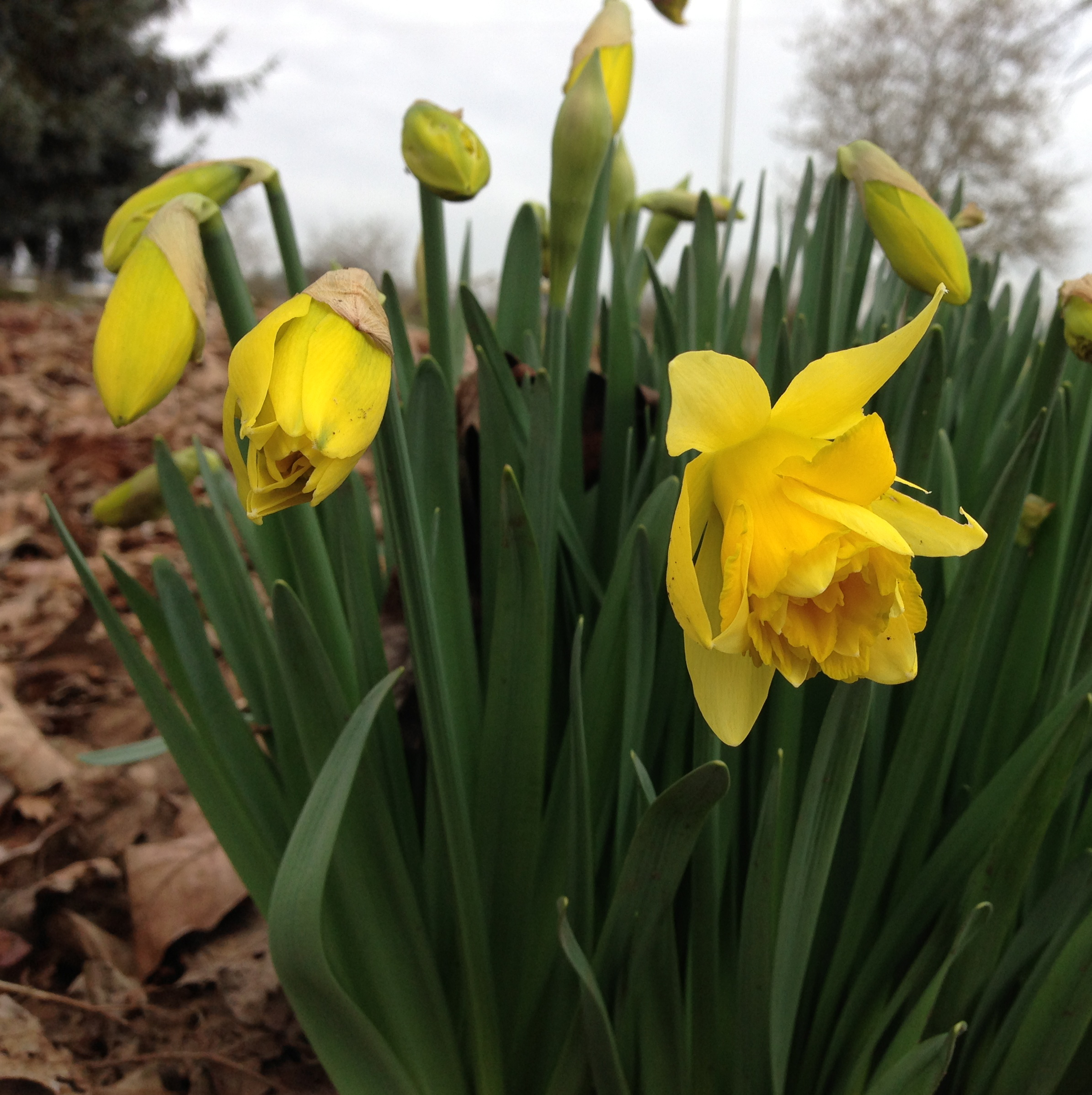 The first daffodils