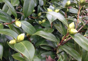 Buds on the camellia bush