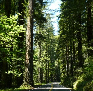 Northern California redwoods