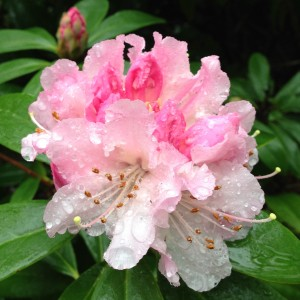 Rhododendron with water droplets