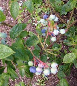 Blueberries getting ready to be eaten!