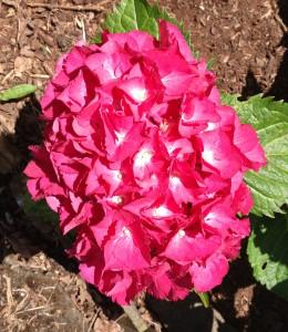 Dark pink and white hydrangea