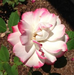 Pink-tipped white rose