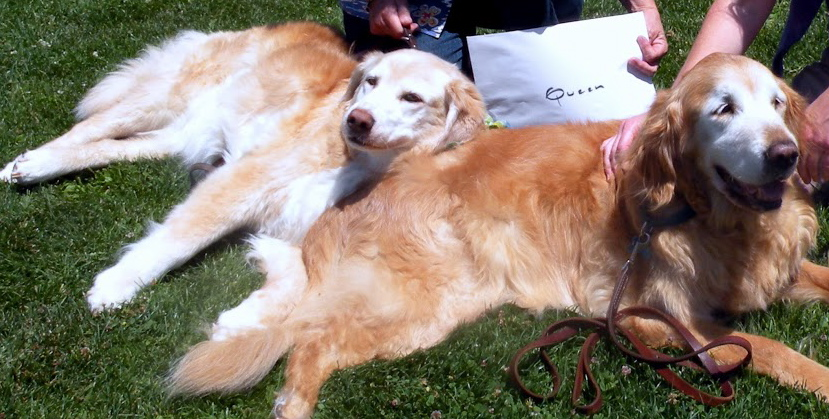 Dinah, Queen of the Goldens, reclining on the King
