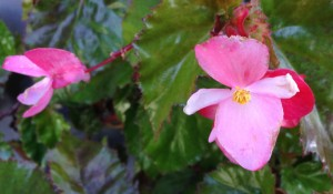 Pink blossoms on my 40+ year old begonia plant