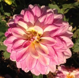 Pink dahlia in Tricia's garden