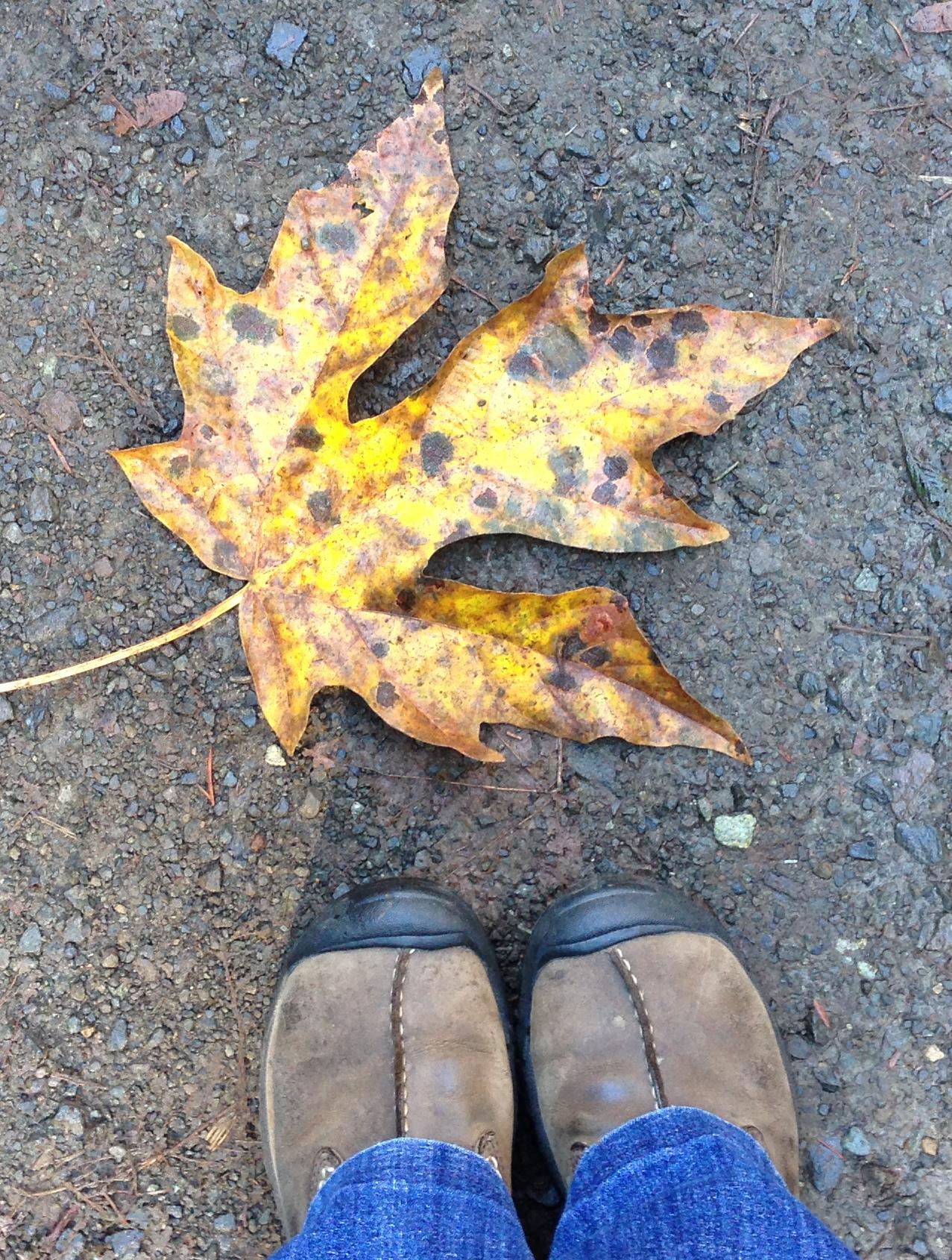 That's a big maple leaf!