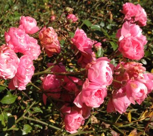 Miniature pink roses at McMenamin's Edgefield, Troutdale, OR