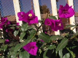 Bougainvillea at the border