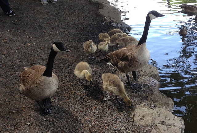 Ma & Pa Canada Goose and family