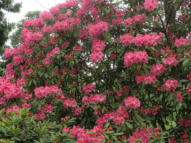 Beautiful salmon-colored rhodie