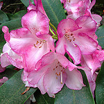 Rhododendrons Done Right