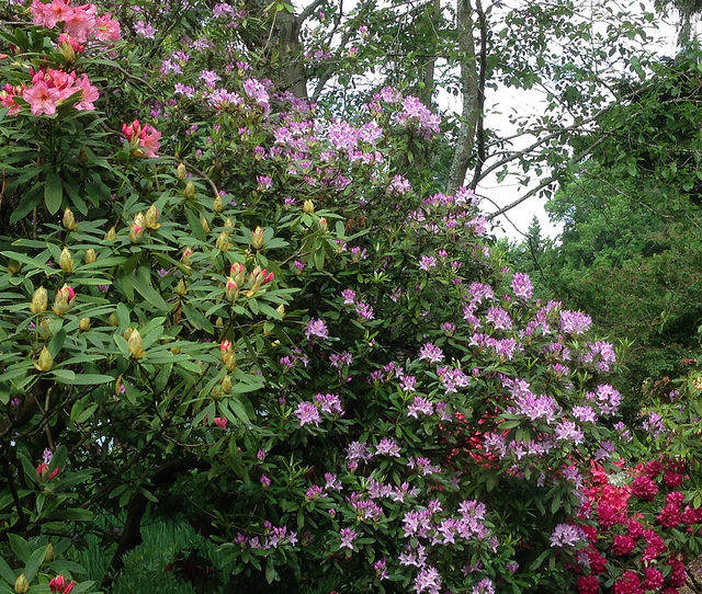 Rhodies and azaleas