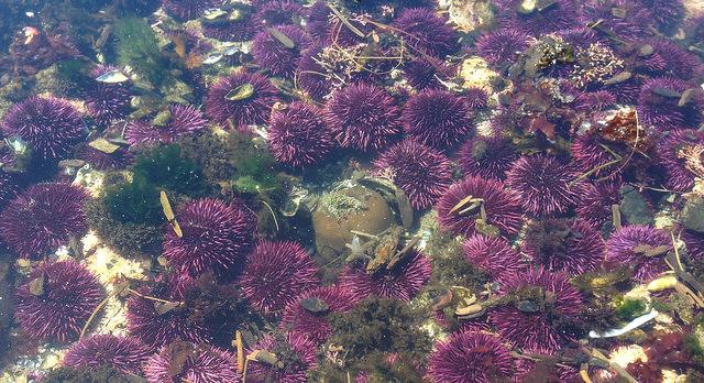 Sea urchins at the tidepools