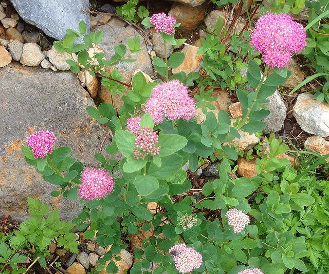 Pink fuzzy wildflowers