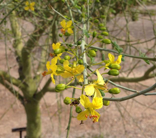 Blooming Foothills Palo Verde