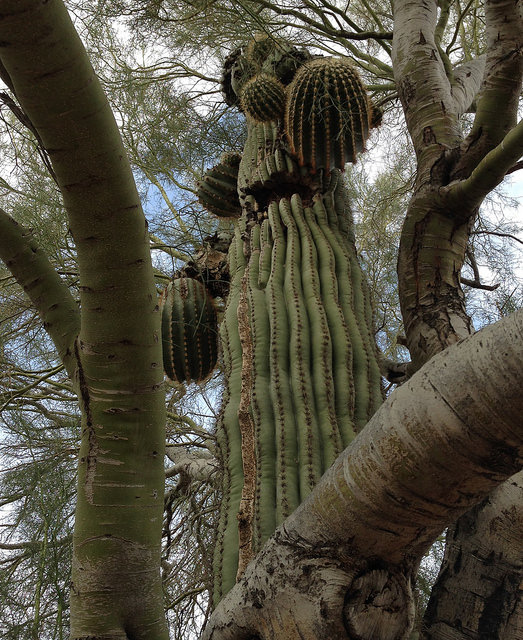 Best friends: saguaro and palo verde