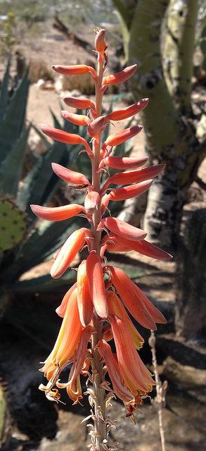 Aloe vera bloom