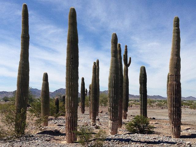 Saguaro garden