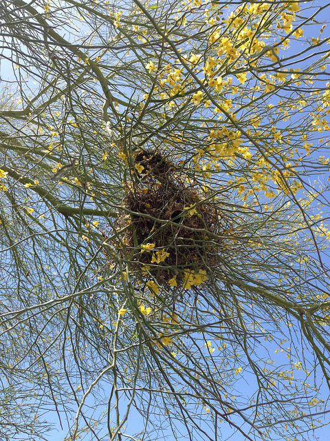 bird nest in palo verde