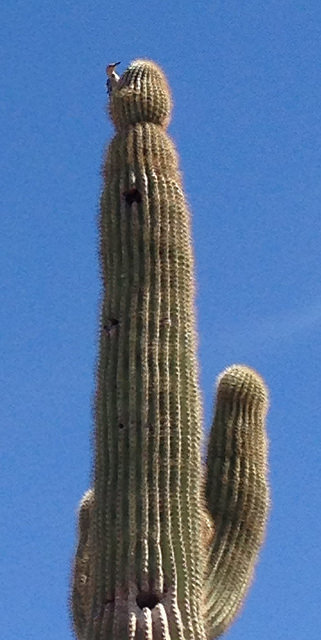 cactus dweller guarding his home