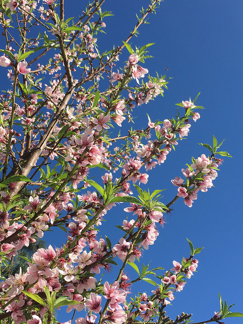 The peach tree is in full-bloom - and the bees are lovin' it!