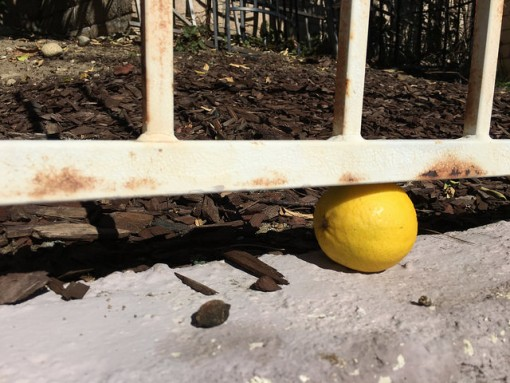 An escapee lime-turned-yellow... might need to recapture it and turn it into a margarita or something!