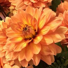 Dahlias in Bloom are Simply Gorgeous